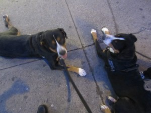 Oscar The Grouch hangs out with Snapple another Swissy (Greater Swiss Mountain Dog)