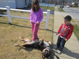 """Cousin Oscar in """"Family Dog"""" (Greater Swiss Mountain Dog does the Swissy roll)"""