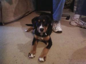 GSMD Swissy Puppy Found at Dog Park
