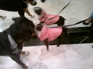 Oscar The Grouch Greater Swiss Mountain Dog (Swissy) gets a kiss from mystery dog