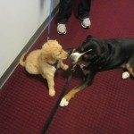 Oscar The Greater Swiss Mountain Dog Plays With Dexter The Golden Retriever Puppy