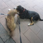 Oscar the Greater Swiss Mountain Dog Catches Up With Charlie Cockerpoo