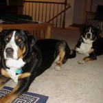 Hanna & Ria (Greater Swiss Mountain Dogs)