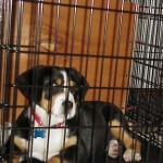 Greater Swiss Mountain Dog crate training