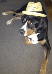 el perro (greater swiss mountain dog) con el sombrero