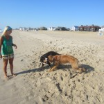 Oscar The Grouch Swissy Meets Kody The Golden Retriever at the Beach
