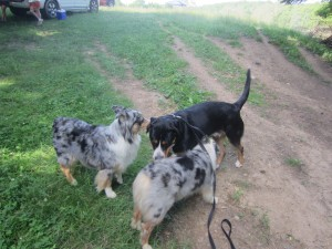 Oscar The Grouch Greater Swiss Mountain Dog & Austrialian Shepherds