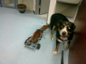 Oscar The Grouch Greater Swiss Mountain Dog Meets Mighty Mouse