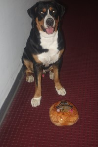 Oscar The Grouch Dog Greater Swiss Mountain Dog and His Pre-Hurricane Turkey