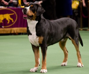 Oscar The Grouch Greater Swiss Mountain Dog at Westminster Dog Show