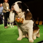 The Saint Bernard at the Westminster Kennel Club Dog Show 2013