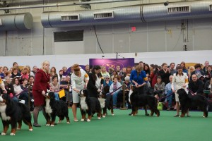 Westminster Kennel Club 2013 Bernese Mountain Dogs