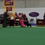 Westminster Kennel Club Photos 2013
