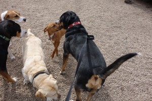 Oscar Greater Swiss Mountain Dog Meet New Friends