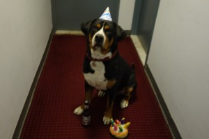 Happy Birthday to Oscar The Grouch Greater Swiss Mountain Dog!