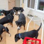 Greater Swiss Mountain Dog Swissy Club Meeting