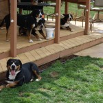 Swissy Club Party (Mid-Atlantic Greater Swiss Mountain Dog Club)