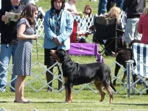 Swissy or Doberman? Oscar Use The Doberman Stare To Win Best of Breed