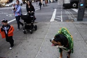Oscar The Swissy on his Halloween walk