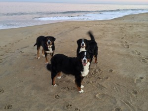 Swissy and Bernese Mountain Dog Enjoying Dewey Beach!