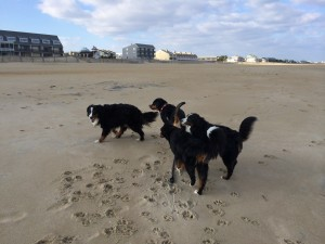 Greater Swiss & Bernese Mountain Dogs Enjoying Dewey Beach!